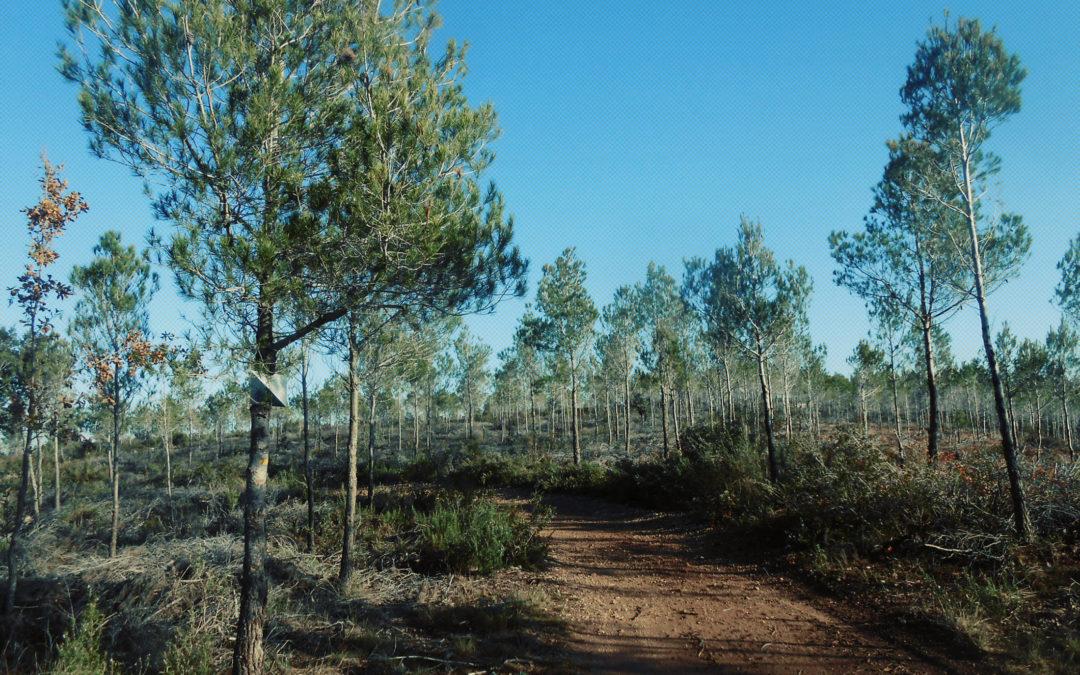 La Xima a les pinedes joves de pi blanc